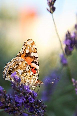 papillonbelledame1.jpg
