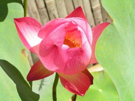 fleurdelotus2.jpg