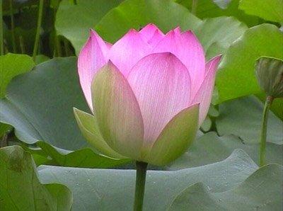 fleurdelotus3.jpg