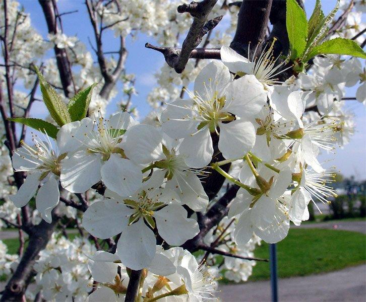 fleursdepommier.jpg