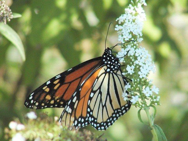 monarquericainpapillon.jpg