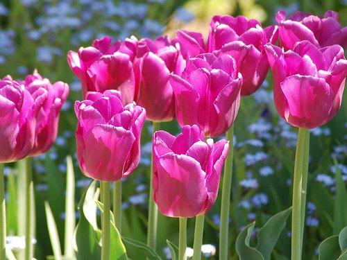 tulipesastoweauvermont.jpg