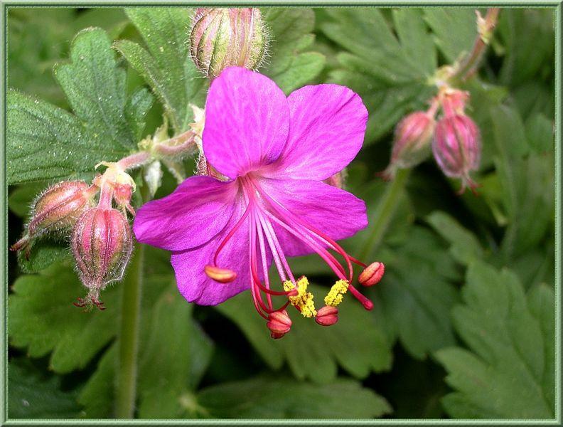 geraniumsauvagerose.jpg