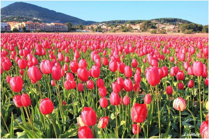 tulipeesrose.jpg