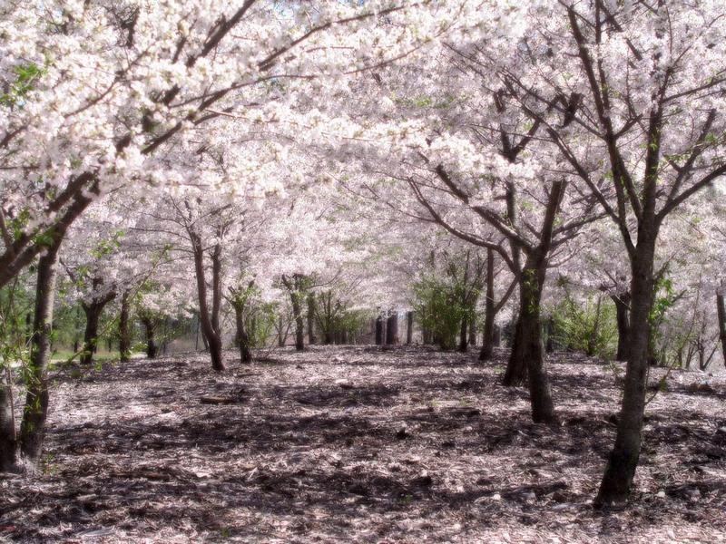 cerisiersakurahealed.png